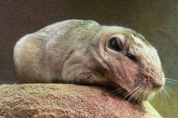 The Gundi, of which there are just five known species - all in Africa - are the Laotian rock rat's closest living relative