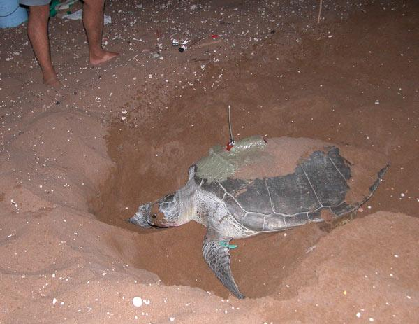 Researchers attached satellite tracking devices to 10 female green turtles nesting in Cyprus