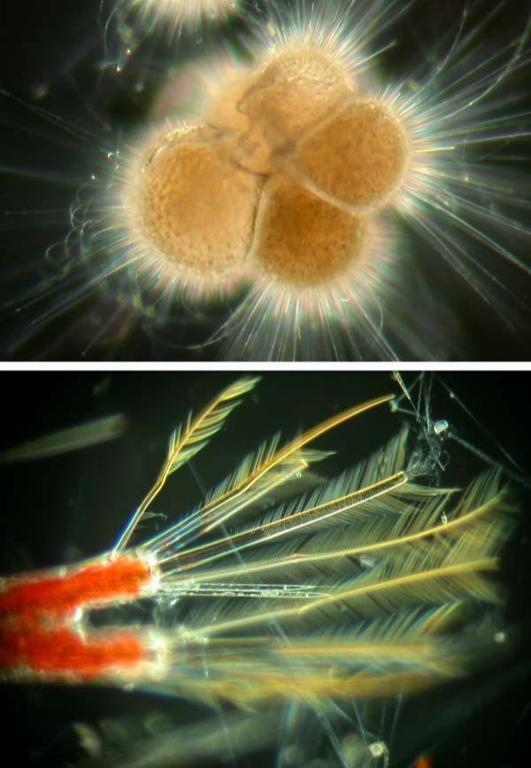 Top: Neogloboquadrina pachyderma are amoebae that consume plankton in surface waters around the world. When they die, their tiny shells settle to the sea floor. Bottom: Neocalanus are crustraceans that are abundant in the northwest Pacific; they hide deep down by day and travel hundreds of meters to the surface to feed at night.