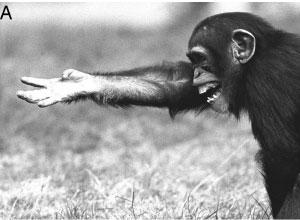 Meaning often needs to be extracted from the specific context in which a gesture is being used. Here a juvenile chimpanzee tries to reclaim food that a dominant has taken away by combining the reach out up begging gesture with a silent bared-teeth face. (Credit: Pollick and de Waal)