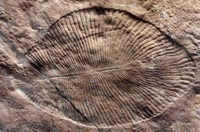 Ediacarans: the 'long fuse' of the Cambrian explosion?