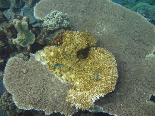 A coral colony suffers from white syndrome on the Great Barrier Reef