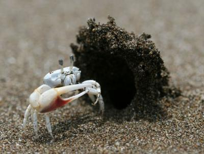 A male fiddler crab stands in front of his hooded burrow