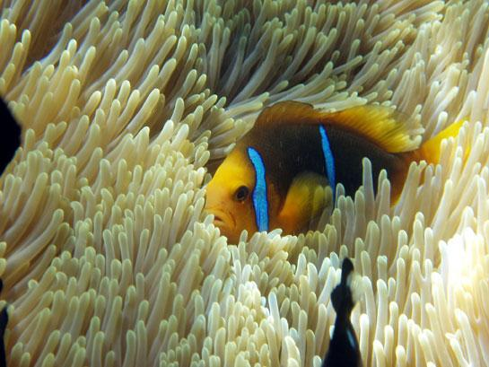 Clownfish (Amphiprion clarkii) have a uniquely snappy way of communicating (Credit: Eric Parmentier)