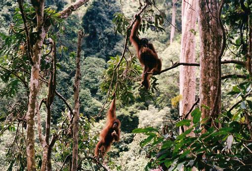 An adult female Sumatran orang-utan and her infant in the Gunung Leuser National Park, Indonesia. [Image courtesy of SKS Thorpe]