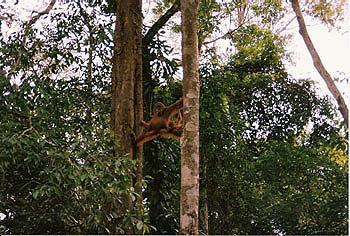 An adult female Sumatran orang-utan doing the splits in the Gunung Leuser National Park, Indonesia. [Image courtesy of SKS Thorpe]