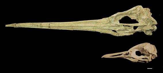 The first complete skull of a giant penguin Icadyptes salasi  (1.5m estimated standing height). Fine vascular texturing and other features of its long beak are unlike any other known penguin. A skull of Spheniscus humbolti, the only species inhabiting Peru today, is shown for scale (scale bar = 1cm)