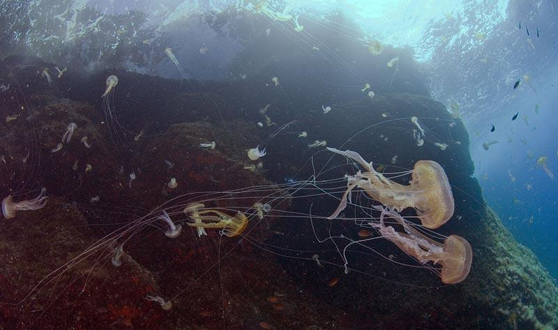 The numbers of mauve stinger jellyfish (centre-right) in the Mediterranean have increased as fish, which compete for food, have decreased