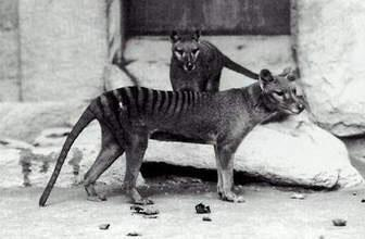 The thylacine was a large, carnivorous marsupial with a distinctive striped back. It vanished from Australia's mainland about 3000 years ago, but survived in Tasmania until the 1900s