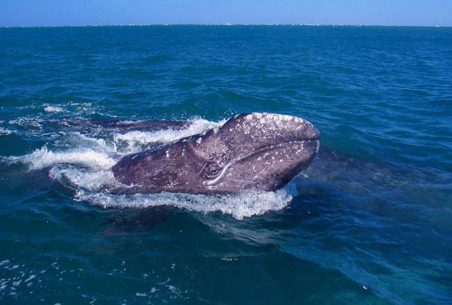Gray Whales once numbered 96,000, say researchers