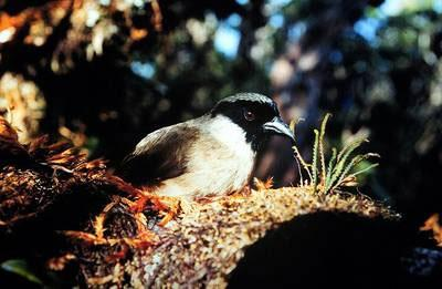 The last two wild Po'o-uli were seen in Hawaii in 2004