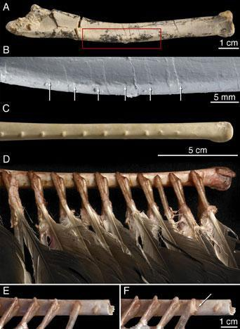 The knobs identified on the Velociraptor fossil (pictured at the top) resemble those found on the bones of some modern birds, such as the turkey vulture (pictured in the bottom four images)