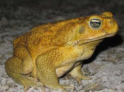 Cane toad invaders suffer arthritis on the frontline