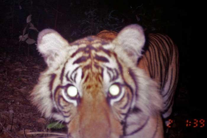 The World Conservation Union estimates there are 250 mature Sumatran tigers left