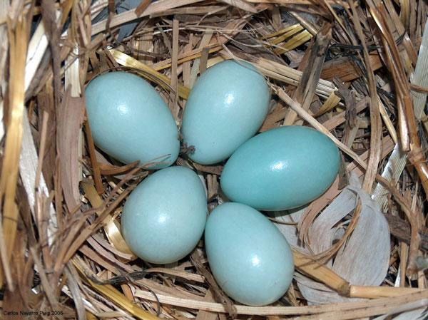 Male spotless starlings seem to be better dads when eggs are dark