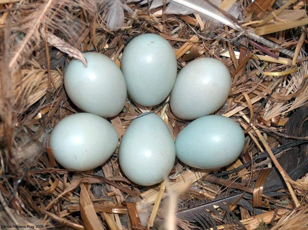 Females in poorer condition tend to lay light coloured eggs