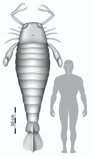 The claw belonged to a specimen of Jaekelopterus rhenaniae roughly 2.5 metres long according to estimates