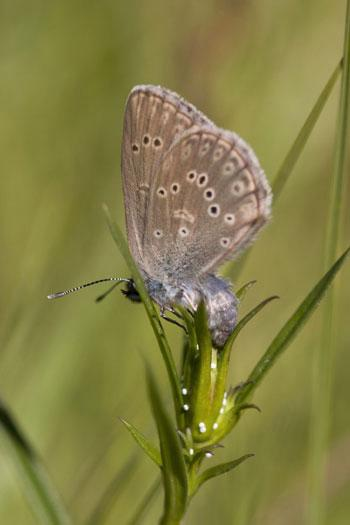 A female alcon blue butterfly lays its eggs