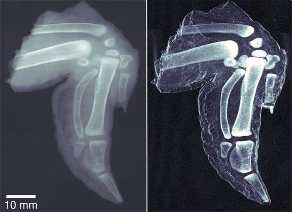 The new method could help doctors spot bone fragments that traditional X-rays don't reveal. This chicken wing (right) clearly shows the difference