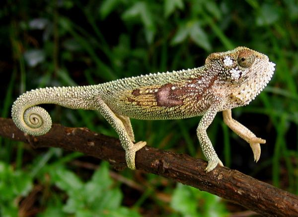 The marking are used for social signalling as much as camouflage. The chameleons can signal aggression or submissiveness, attraction or rejection to others