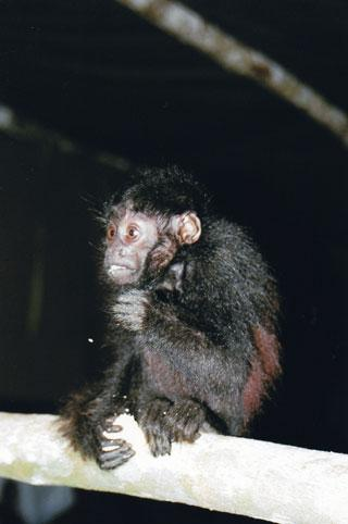 Cacajao ayresii, a kind of uacari monkey, was unkown to science until recently