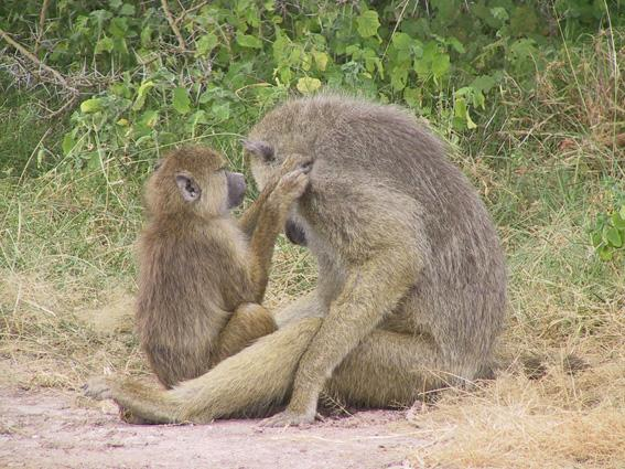 Juvenile baboon grooming an adult male, Amboseli, Kenya