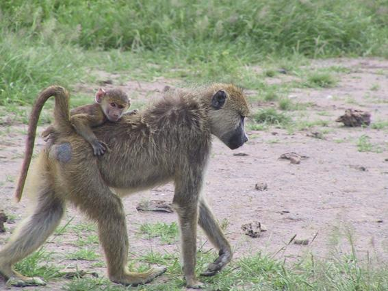 Infant baboon riding on its mother's back, Amboseli, Kenya.