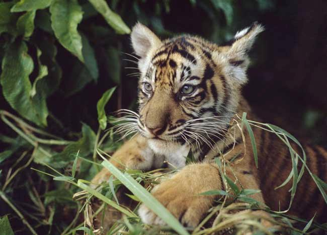 With fewer than 500 individuals left in the wild, the Sumatran tiger sub-species is classed as critically endangered by the World Conservation Union