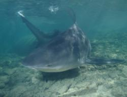 Shark populations hit by demand for fin soup