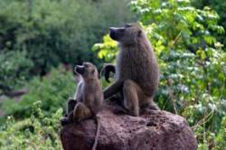 Stay-at-home baboon dads give kids a boost