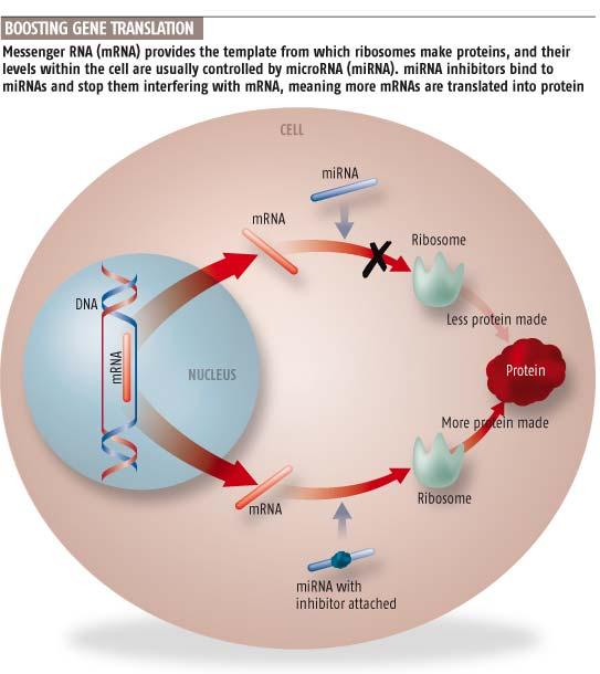 Roosting gene translation