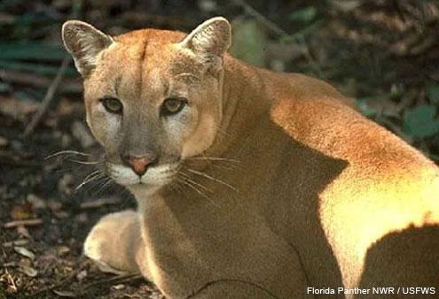 Florida Panthers have all descended from just 6 individuals, researchers have found