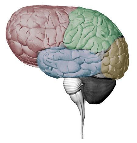 ...to a boskop brain (Images: A. Felch, J. Hylands, S. Gagnon, R. Granger)