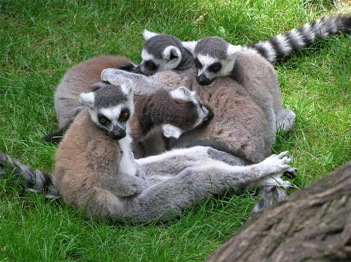Ring-tailed lemurs are the cuddly face of Madagascan wildlife, but the new survey should help less popular creatures too