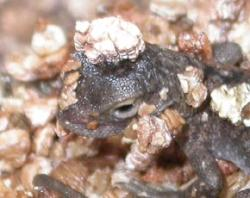 A newborn dragon lizard