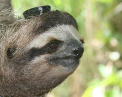 Wild three-toed sloths were fitted with state-of-the-art EEG caps that provided the researchers with several days' readout of brain activity. The result? They are much less sleepy than assumed
