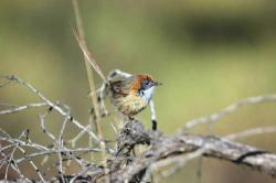 Years of drought in Australia have degraded the vegetation on which the Mallee Emuwren lives