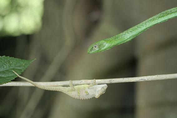 The venomous Boomslang has poorer colour vision than the shrike, and so produced less vivid changes in the chameleons' camouflage