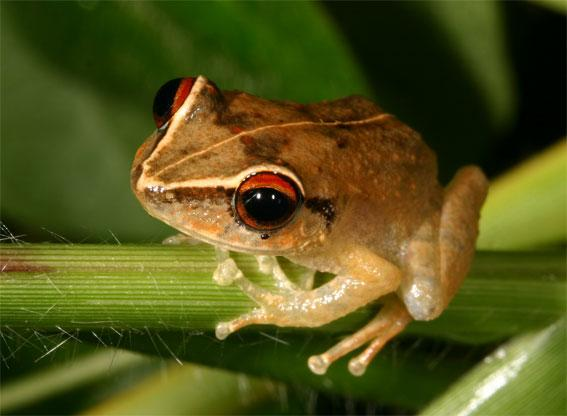 One of the frog species in the study was Eleutherodactylus antillensis. Frogs that were found in more cleared areas were up to 10% smaller than those in heavily forested areas