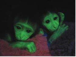 Transgenic monkeys to aid Huntington's research