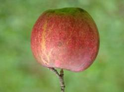 Would an antimatter apple fall up?