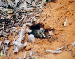 A female with a radio-transmitter digs a nest to lay her eggs before she dies