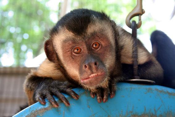 Experts thought capuchin monkeys like to rub themselves with plants as simple medicine, but the onion rub changed behaviour