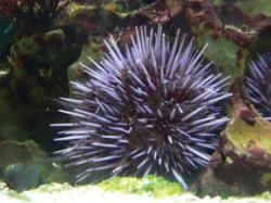 Grazing sea urchins create reef cacophony