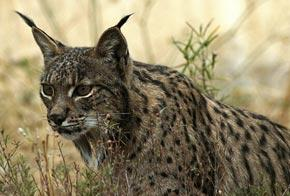 Hidden populations give lynx a fighting chance