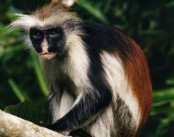 The Zanzibar red colobus is endangered due to habitat loss
