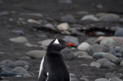 Droppings of gentoo penguins contain three times as much arsenic as those from local seal (Credit: Gvasquez)