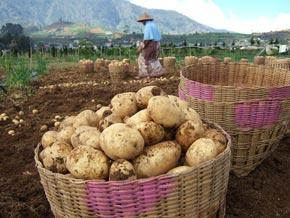 How the humble potato could feed the world