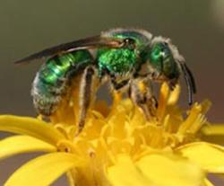Parasitic flies force bees into drudgery