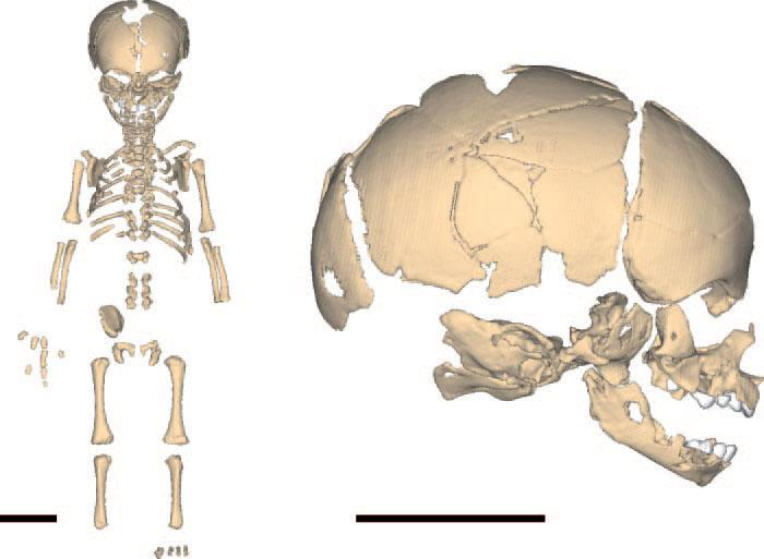 Virtual reconstruction of the Neanderthal newborn. (A) Skeleton. (B) Skull in right lateral view - scale bars, 5 cm